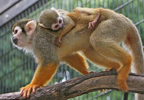 baby-squirell-monkey-cute