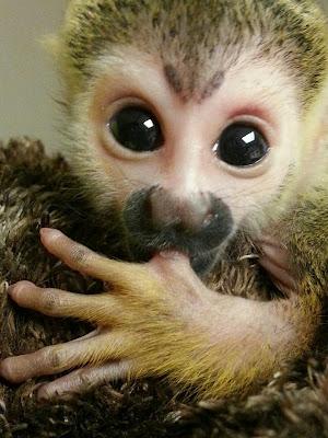 baby-squirell-monkey-pics