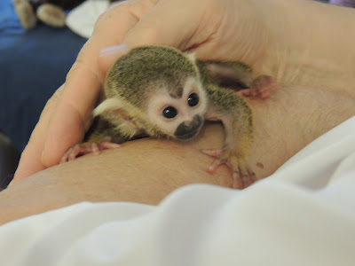 Baby Squirrel Monkey S Are Two Kinds Of Cute Baby Animal Zoo