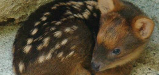 baby-pudu-deer