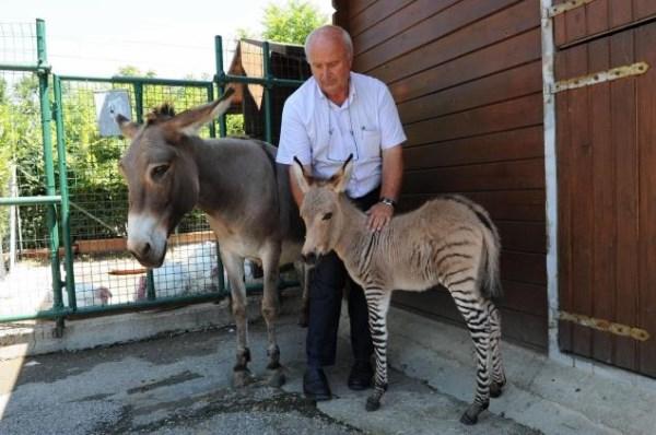 A Baby Zonkey Has Been Born Baby Animal Zoo