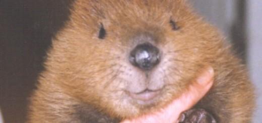 Baby_Beaver