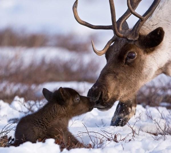 baby-reindeer-cute-pics