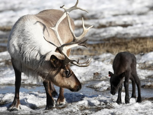 baby-reindeer-pic