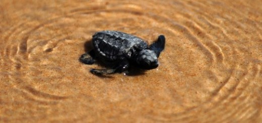 baby-turtle