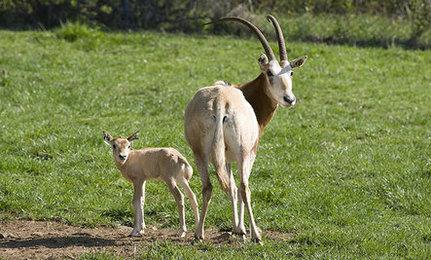 baby-oryx
