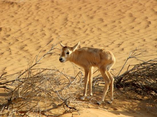 oryx-baby-pics