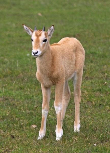oryx-baby