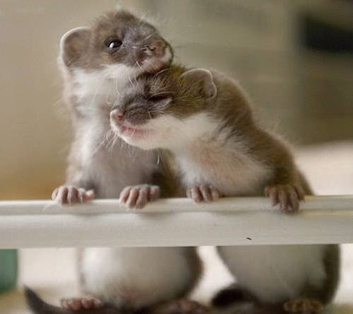 adorable-baby-weasels