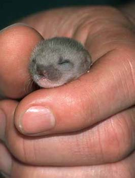 baby-weasel-cute-pic