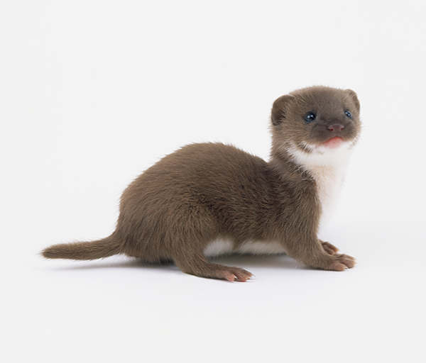baby-weasel-pics