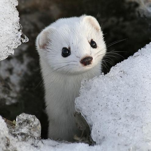 baby-weasel
