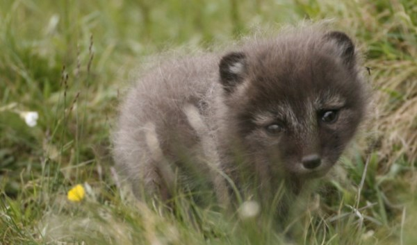 baby-arctic-fox-cute-picture