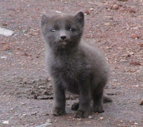 baby-arctic-fox-pic