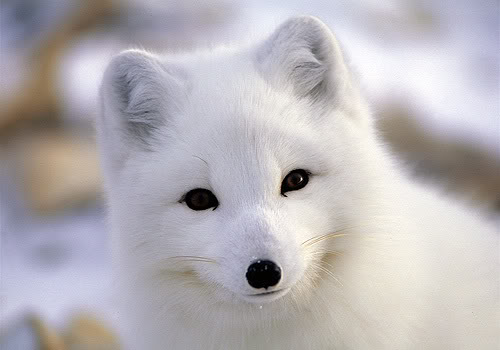 arctic foxes will warm your heart baby animal zoo