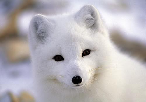 baby-arctic-fox-pics