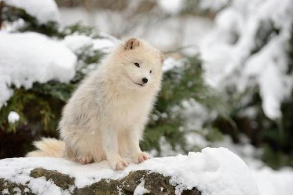 baby-arctic-fox