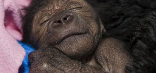 baby-gorilla-c-section