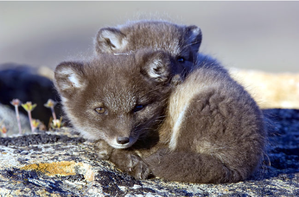cute-animals-arctic-Fox