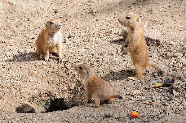 prairie-dog-pups-babies