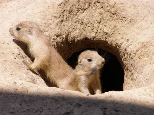 prairie-dog-pups-cute-pic