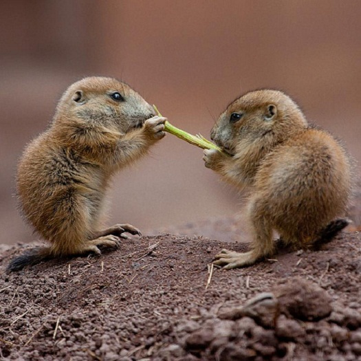 prairie-dog-pups-cute-pics