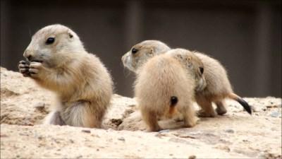 prairie-dog-pups-cute