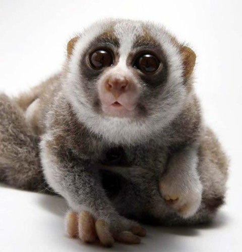 baby-loris-infant-cute-pics