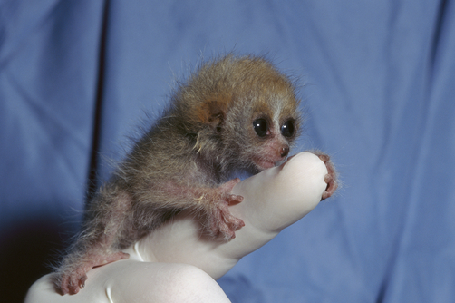 Pygmy Slow Loris or Lesser Slow Loris (Nycticebus pygmaeus) baby clinging on to zoo worker's finger, native to Asia