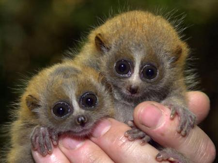 baby-loris-infant-pictures