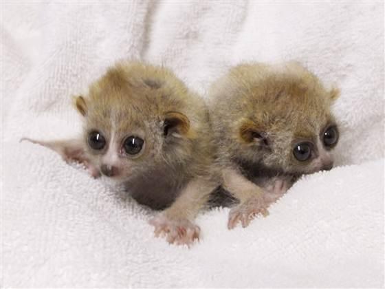 baby-loris-infant