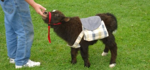 baby-yak-pictures