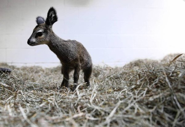 Klipspringer-baby-pic-cute