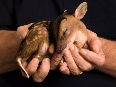 baby-water-deer-pic-cute