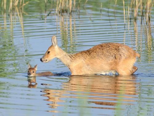 baby-water-deer-pic