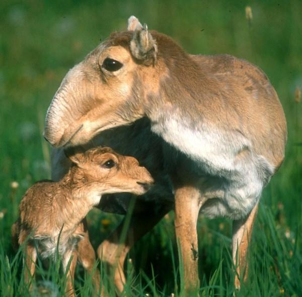 baby-saiga-antelope-calf