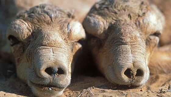 baby-saiga-antelope-calves