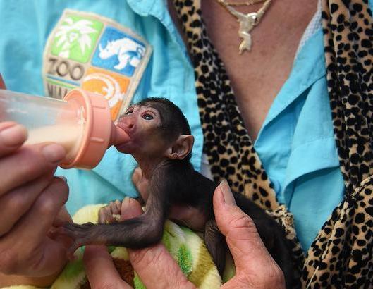 baby-white-faced-saki-monkey-cute-pics
