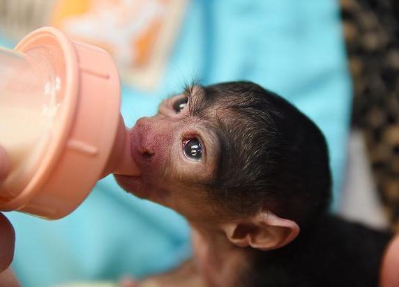 baby-white-faced-saki-monkey-cute