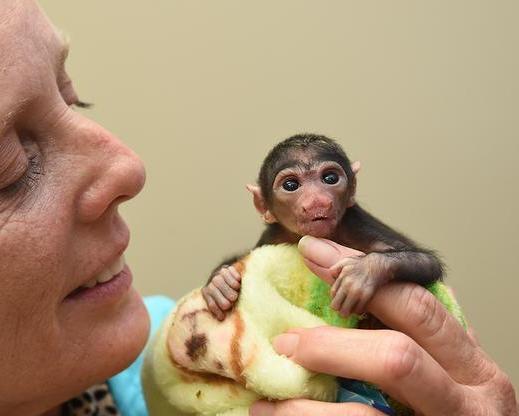 baby-white-faced-saki-monkey