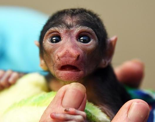 saki-monkey-baby
