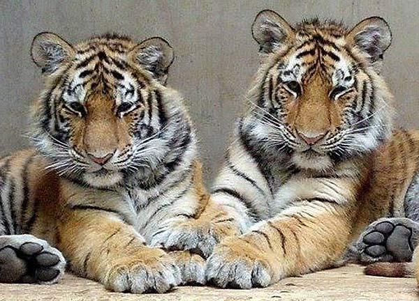 adolescent-amur-tigers