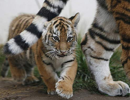 Amur Adolescent Tigers Happy Youth Baby Animal Zoo