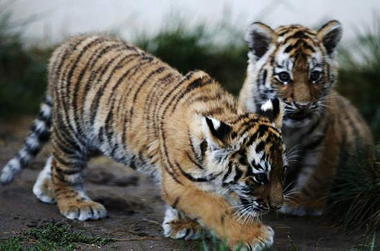 amur-tigers-cubs
