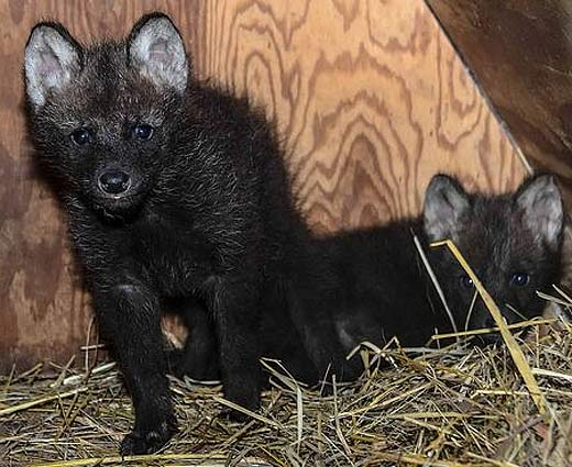 puppies-maned-wolves