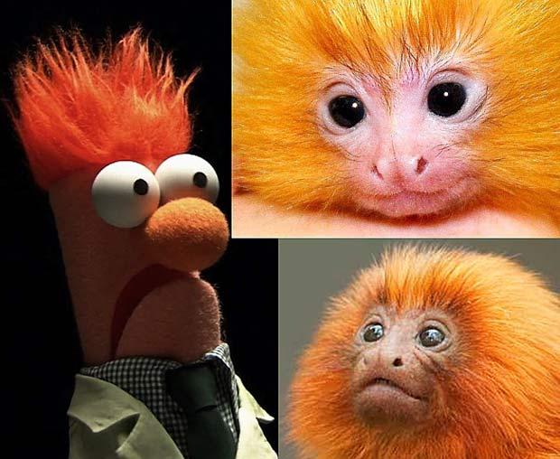 beeker-muppet-tamarins