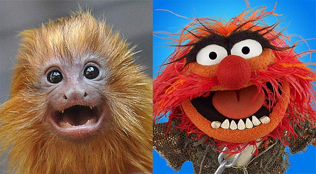 lion-tamarin-muppet