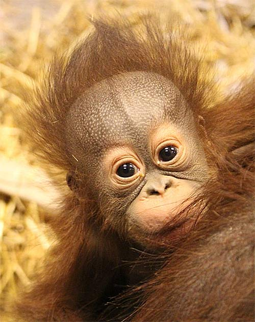 Baby Orangutans Enjoy the Early Years with Mom | Baby Animal Zoo