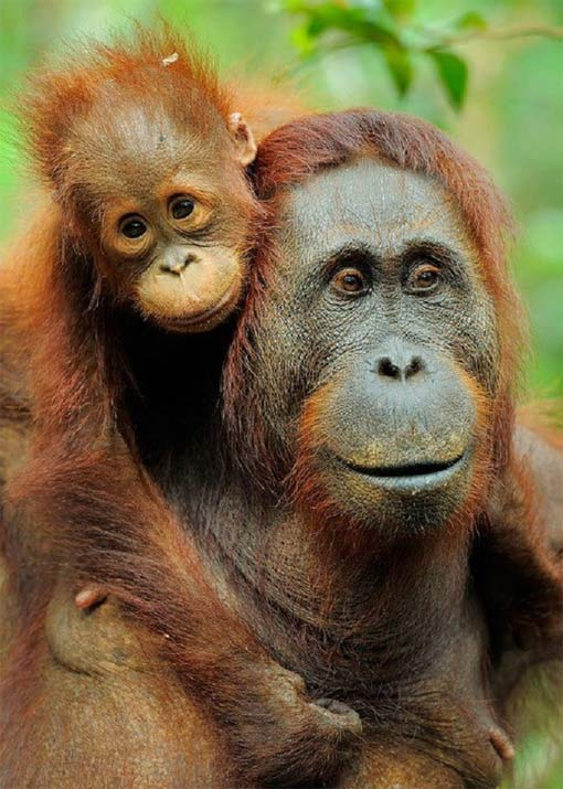 mom-and-baby-orangs